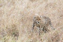 Afrykański geparda polowanie Fotografia Royalty Free