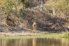 Afrykański impala w riverbank w Kruger parku, Obrazy Royalty Free