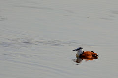 Afryka?ski jacana (Actophilornis africanus) Obraz Stock