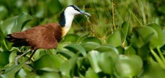 Afrykański jacana, Jeziorny Naivasha, Kenja Obrazy Stock