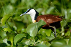 Afrykański jacana, Jeziorny Naivasha, Kenja Zdjęcia Royalty Free