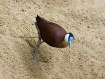 Afrykański jacana spacer w piasku Zdjęcia Stock
