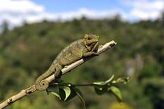 afrykański kameleon Zdjęcia Royalty Free