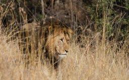 afrykański król Obraz Stock