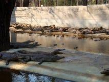 Afrykański krokodyl Fotografia Royalty Free