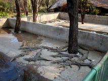 Afrykański krokodyl Zdjęcia Royalty Free