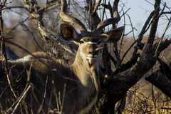 afrykański kudu Obraz Stock