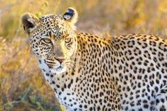 Afrykański lampart przy wielkimi równinami Serengeti Zdjęcia Stock
