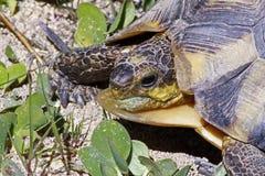 Afrykański lamparta tortoise przy Natal Zdjęcia Stock