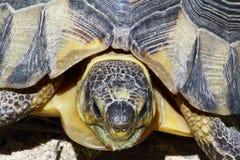 Afrykański lamparta tortoise przy Natal Zdjęcia Royalty Free