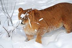 afrykański Leo Fotografia Stock