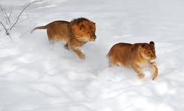 afrykański Leo Fotografia Royalty Free