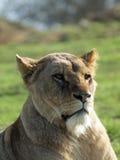 afrykański Leo lwicy panthera Zdjęcie Royalty Free
