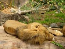 afrykański lew Fotografia Royalty Free