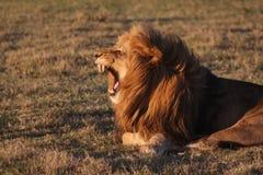 afrykański lew obraz royalty free