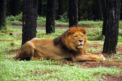 afrykański lew Zdjęcie Royalty Free
