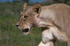 afrykański lew Zdjęcia Stock
