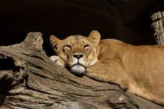 afrykański lew Fotografia Stock