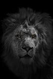 Afrykański lew Zdjęcie Stock