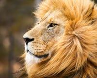 afrykański lew dolców Obrazy Royalty Free