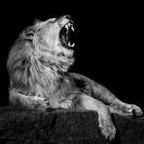 Afrykański lew III Zdjęcie Royalty Free
