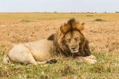 Afrykański lew jest odpoczynkowy na wzgórzu Kenja, Afryka Zdjęcie Stock