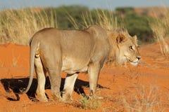 Afrykański lew - Kalahari pustynia Zdjęcie Royalty Free