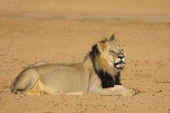 Afrykański lew - Kalahari pustynia Zdjęcia Stock