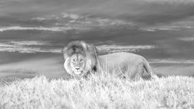 Afrykański lew na punkcie obserwacyjnym obraz royalty free