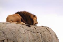 Afrykański lew odpoczywa na skale Obraz Stock