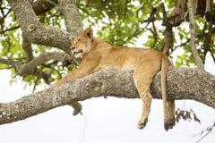 Afrykański lew odpoczywa w drzewie Obrazy Royalty Free