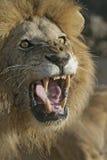 Afrykański lew, Panthera Leo Obrazy Royalty Free