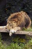 Afrykański lew (Panthera Leo). Obraz Royalty Free