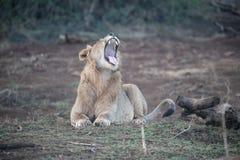 Afrykański lew, Panthera Leo Zdjęcia Stock