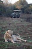 Afrykański lew, Panthera Leo Zdjęcie Royalty Free