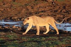 Afrykański lew, Panthera Leo Zdjęcie Stock