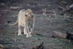 Afrykański lew, Panthera Leo Obraz Royalty Free