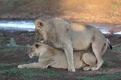 Afrykański lew, Panthera Leo Zdjęcia Royalty Free