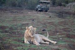 Afrykański lew, Panthera Leo Obraz Stock