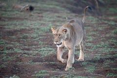 Afrykański lew, Panthera Leo Obrazy Stock