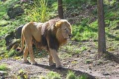 Afrykański lew wolno chodzi Fotografia Royalty Free