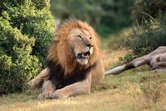 Afrykański lew z zdobyczem Obrazy Royalty Free