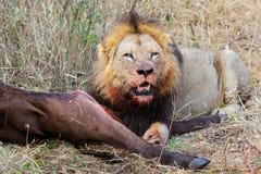 Afrykański lew z zdobyczem Zdjęcia Royalty Free