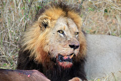 Afrykański lew z zdobyczem Fotografia Stock