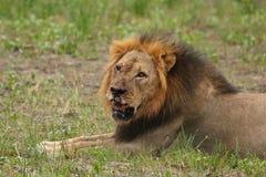 Afrykański lew, Zimbabwe, Hwange park narodowy Zdjęcia Stock