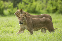 Afrykański lwa odprowadzenie w Samburu Kenja Obraz Royalty Free
