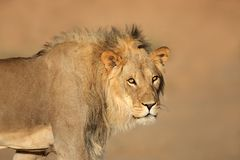 Afrykański lwa portret Zdjęcie Stock