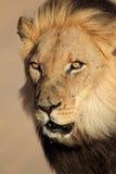 Afrykański lwa portret Zdjęcie Royalty Free