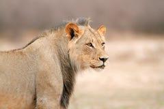 Afrykański lwa portret Obrazy Royalty Free