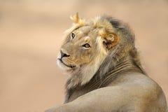 Afrykański lwa portret Obraz Stock